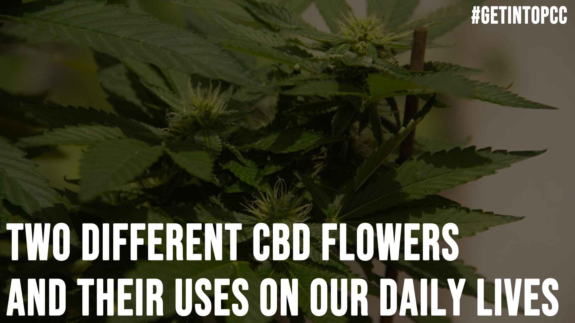 Two Different CBD Flowers And Their Uses On Our Daily Lives